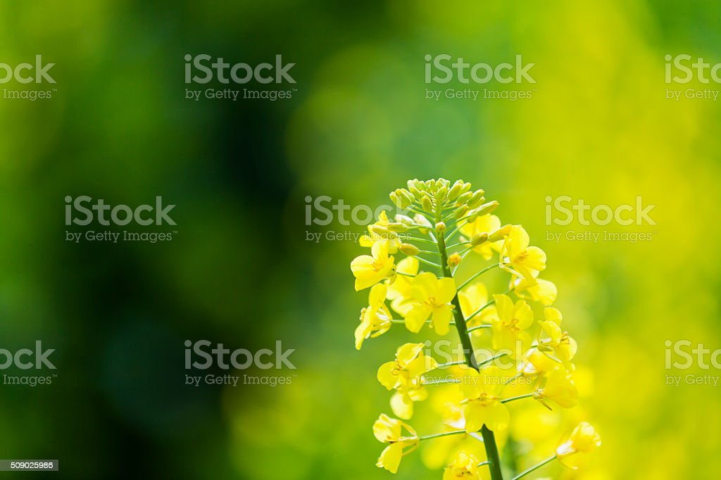 Fresh Canola Flowers stock photo