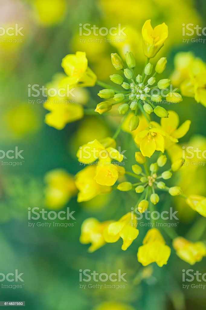 Fresh Canola Flowers with Buds stock photo