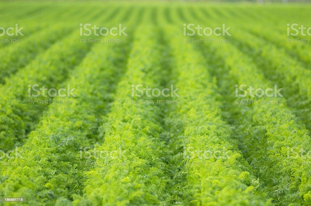 Fresh carrot field stock photo
