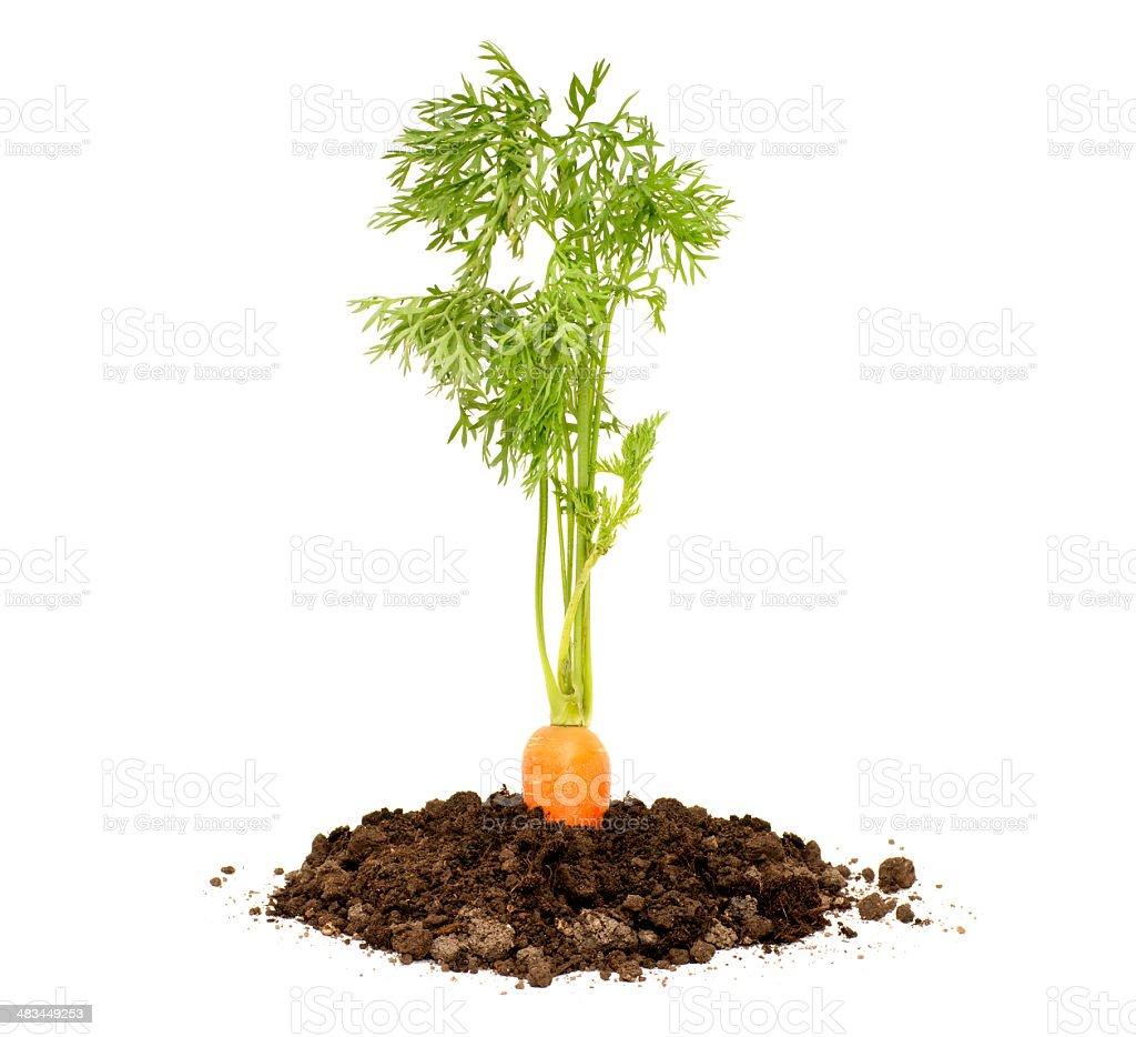 fresh carrot royalty-free stock photo