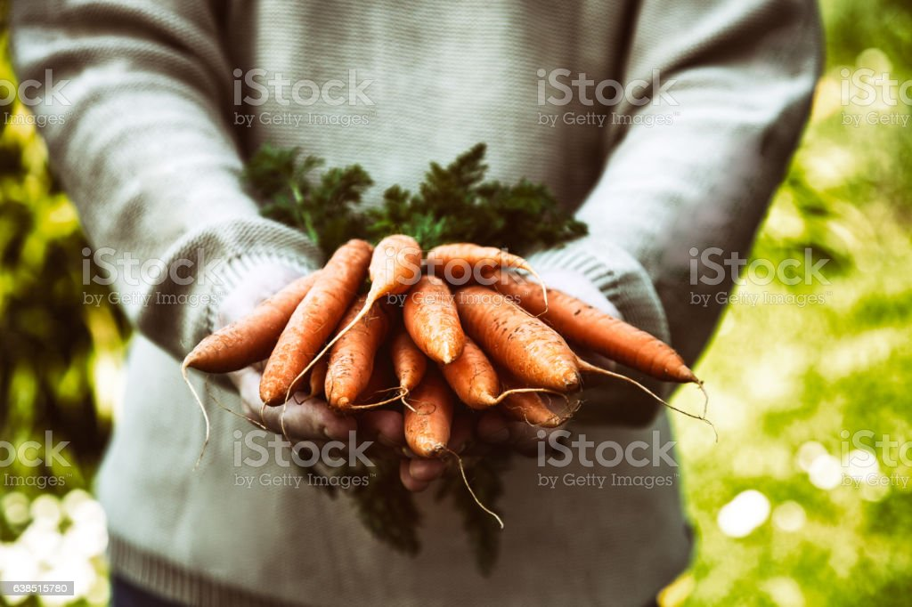 Fresh carrots in farmers hands stock photo