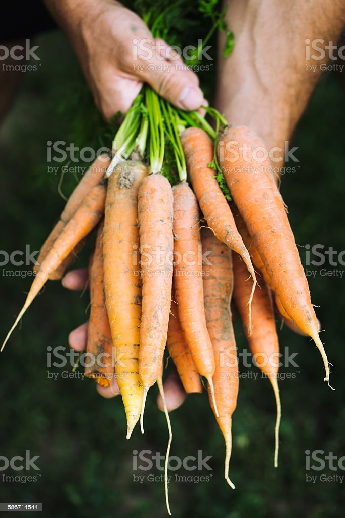 Fresh carrots. Organic vegetables. Healthy food. Carrots in farmers hands stock photo