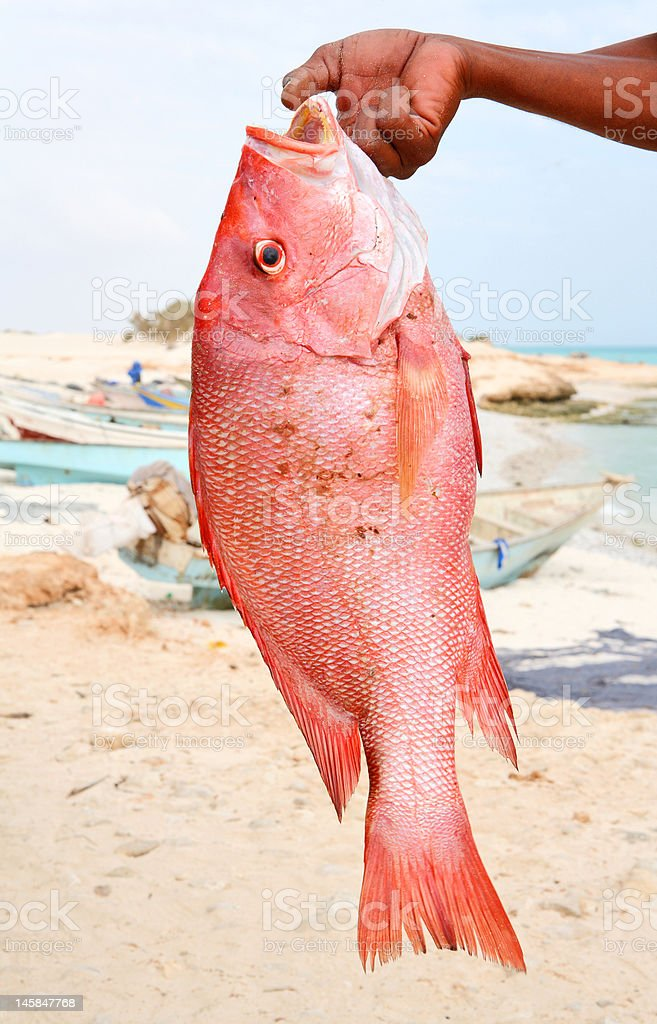 Fresh catch - red snapper stock photo