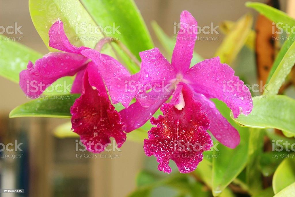 Fresh Cattleya flower stock photo