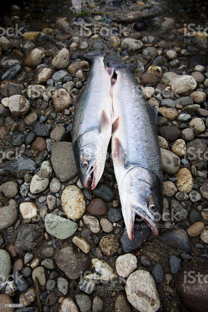 fresh caught fish royalty-free stock photo