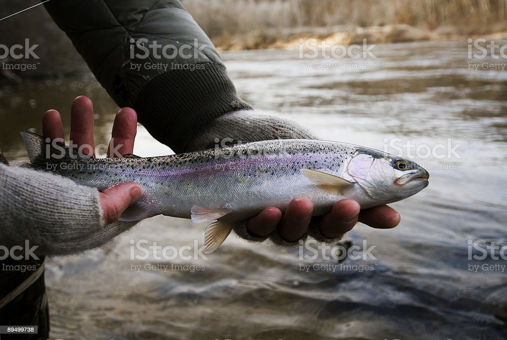 Fresh Caught Rainbow Trout stock photo