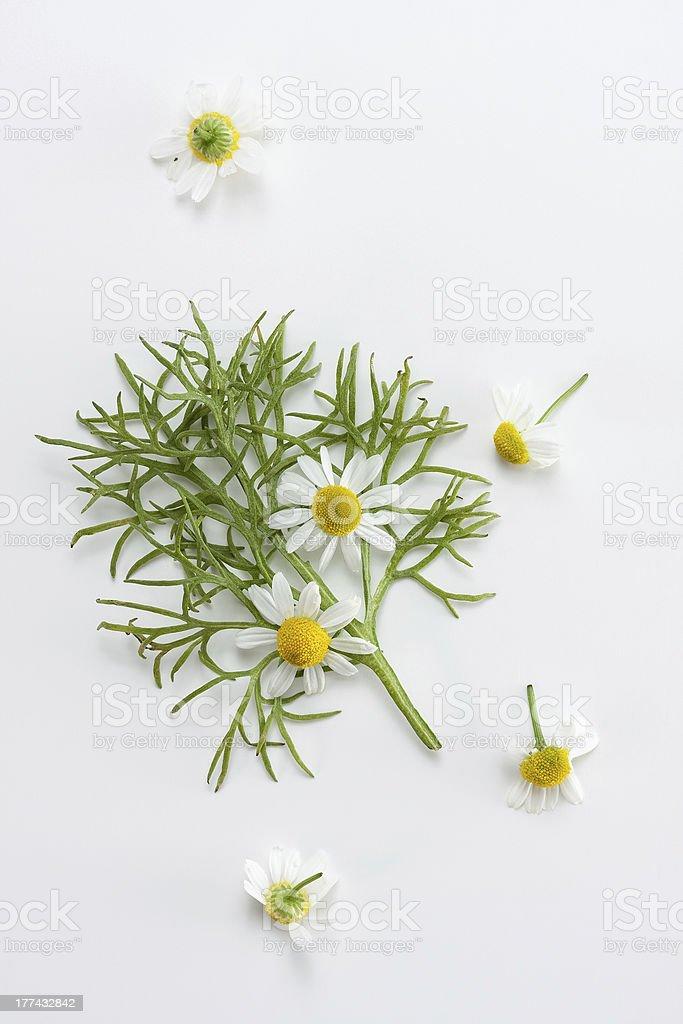 Fresh chamomile stock photo
