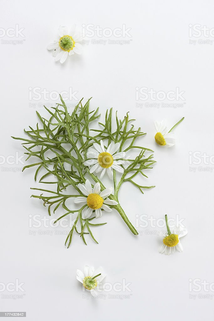 Fresh chamomile stock photo