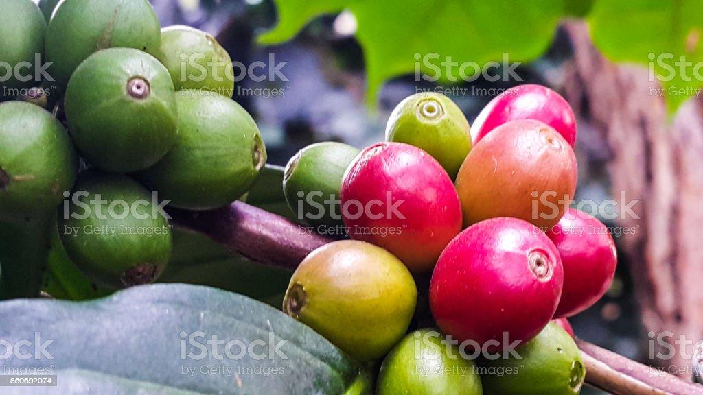 Fresh cherries coffee beans in the garden stock photo