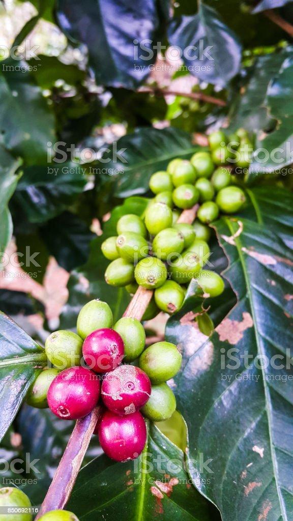 Fresh cherries coffee beans on tree branch stock photo