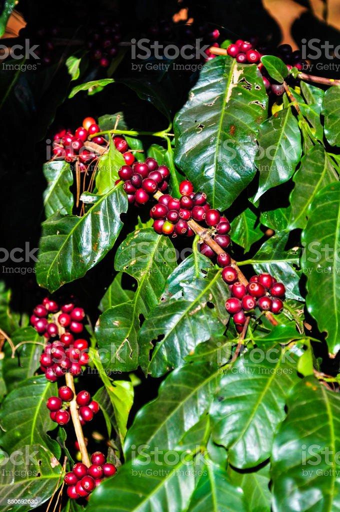 Fresh cherries coffee beans with sunlight stock photo