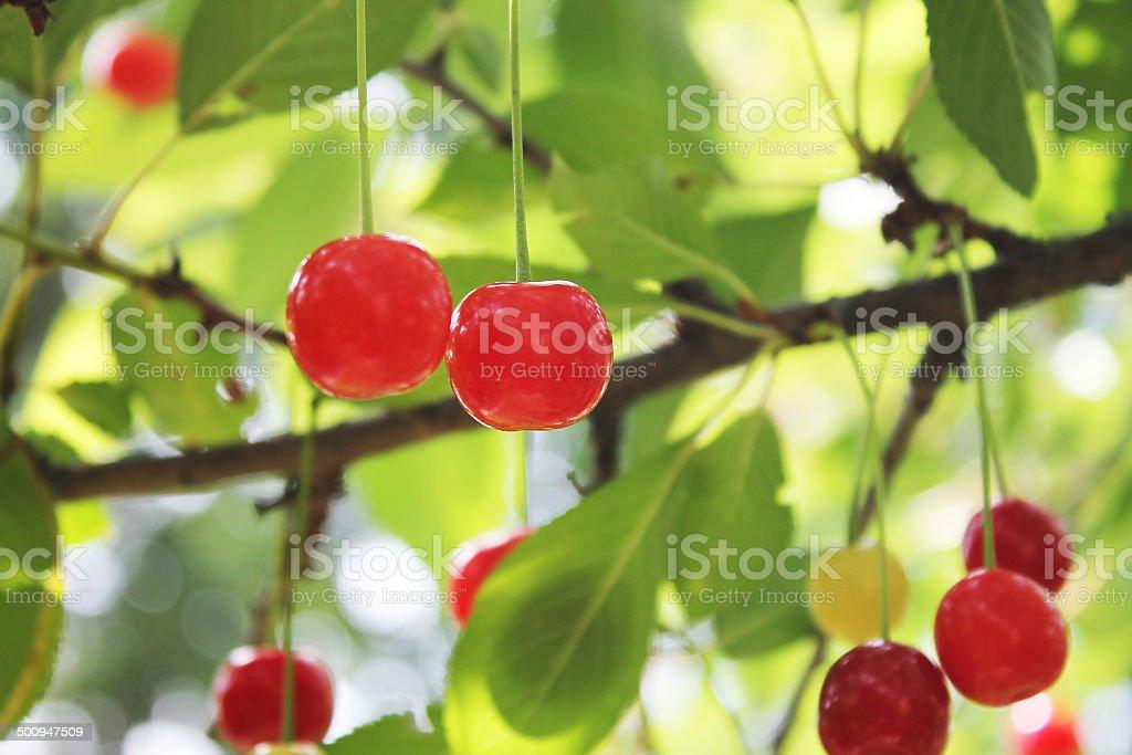 Fresh Cherries royalty-free stock photo
