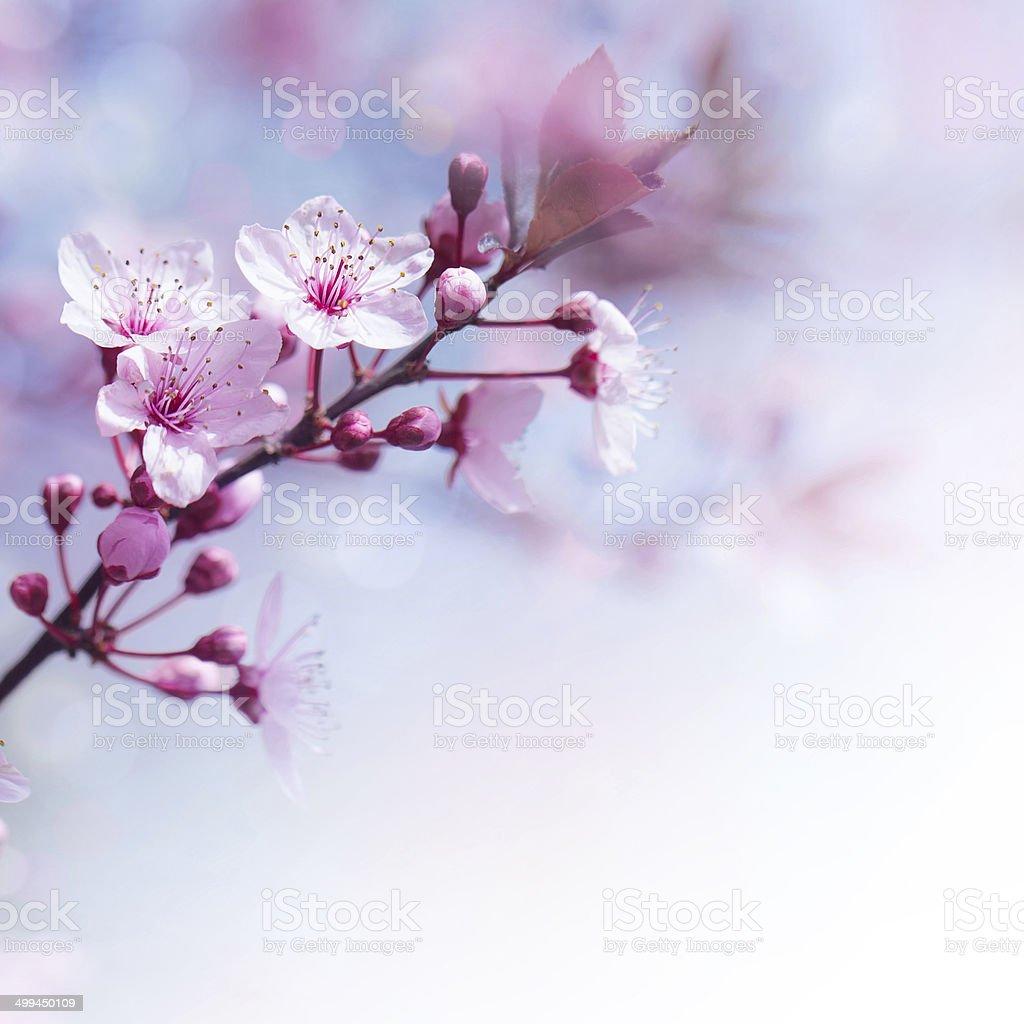 Fresh cherry flowers border stock photo