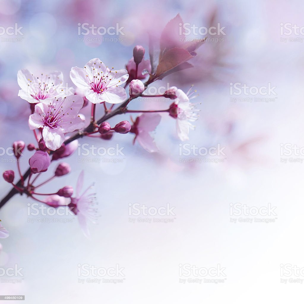 Fresh cherry flowers border stock photo