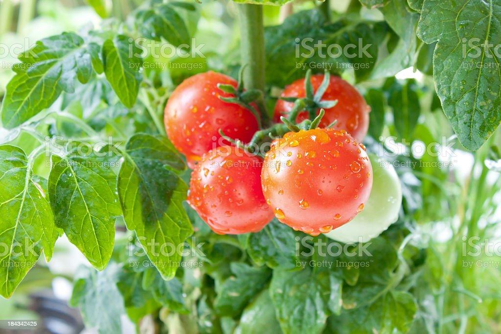 Fresh cherry tomatoes on the vine stock photo