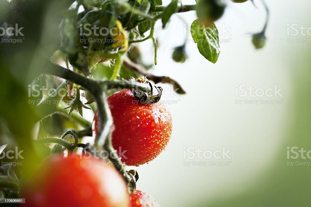 fresh cherry tomatos at plant royalty-free stock photo