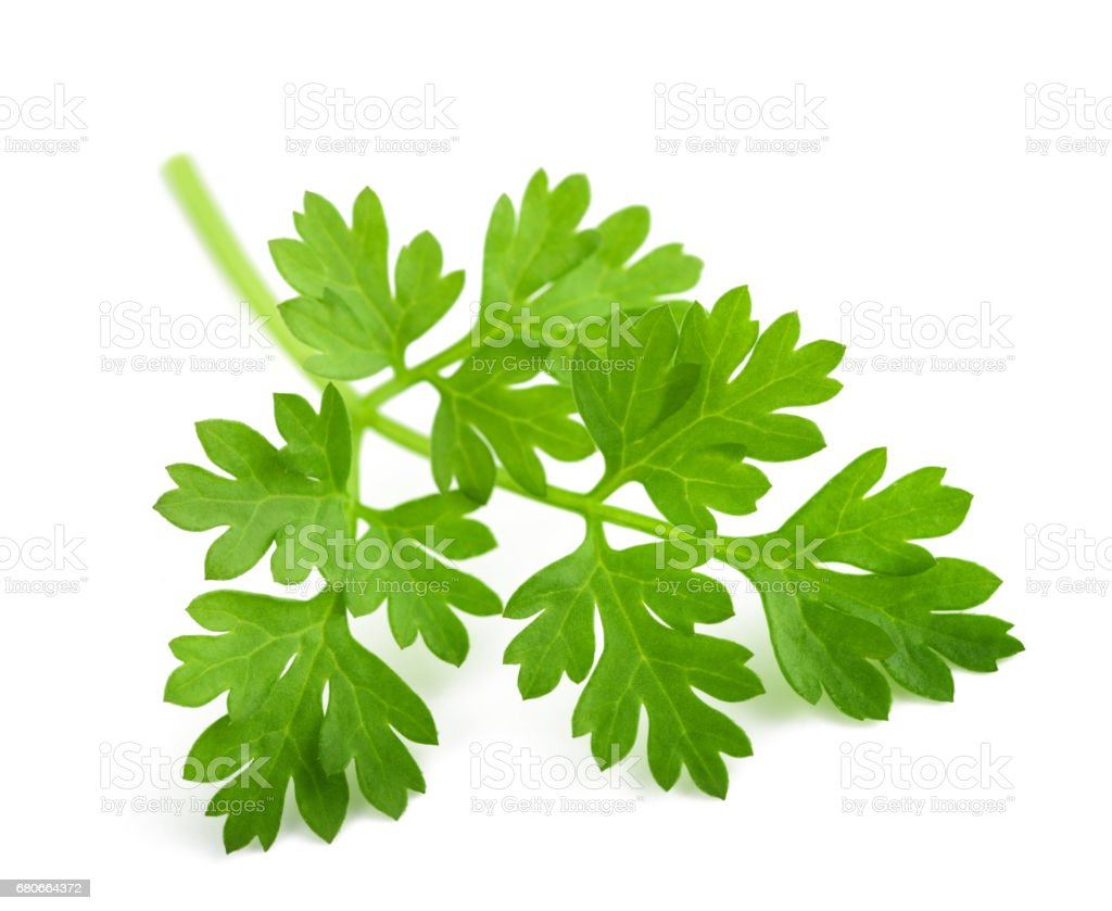 Fresh Chervil branch stock photo