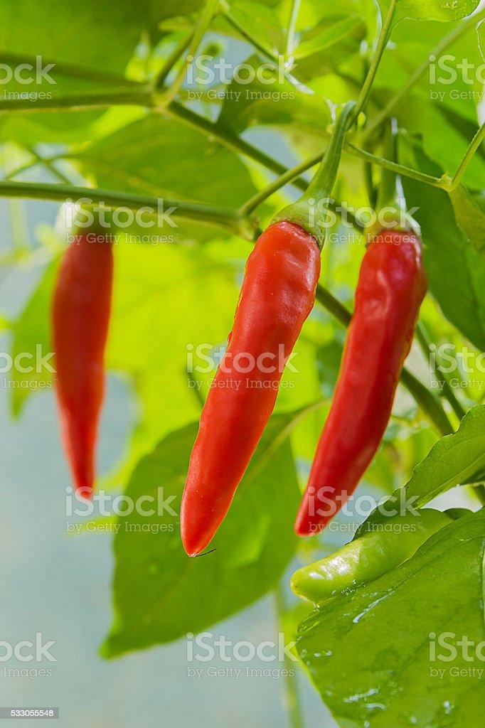 Fresh chili stock photo