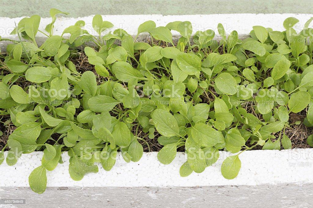 Китайская капуста кале шпинат в свежих органических овощей кровать Стоковые фото Стоковая фотография