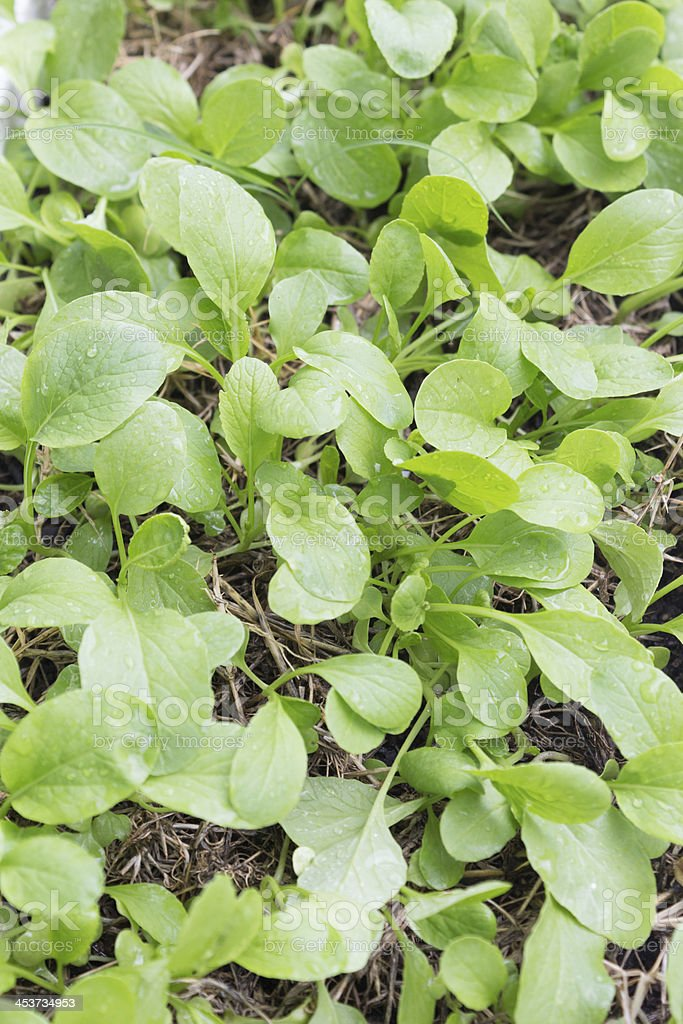 Свежие Китайская Капуста кале овощей, Китай брокколи Стоковые фото Стоковая фотография