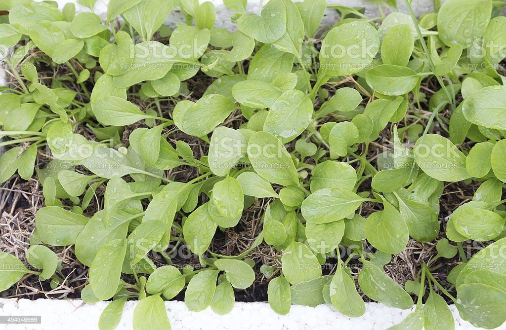 Свежие органические овощи в китайской капусты, брокколи Стоковые фото Стоковая фотография