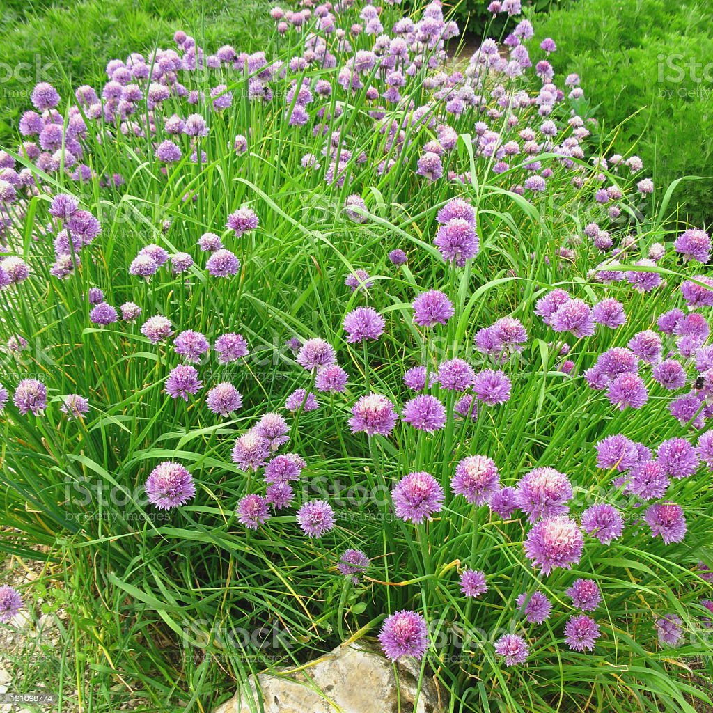 fresh chives and blossoms royalty-free stock photo