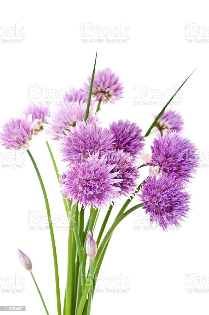 Fresh Chives (Allium Schoenoprasum) royalty-free stock photo
