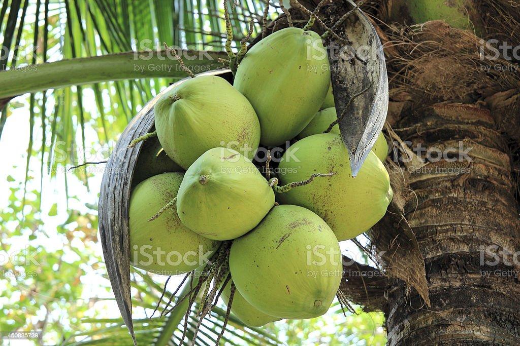 Fresh coconut on the tree royalty-free stock photo