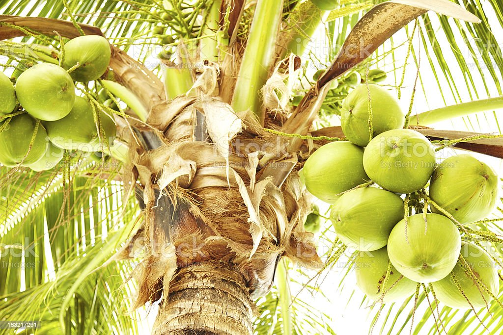 Fresh coconuts hanging on palm tree royalty-free stock photo
