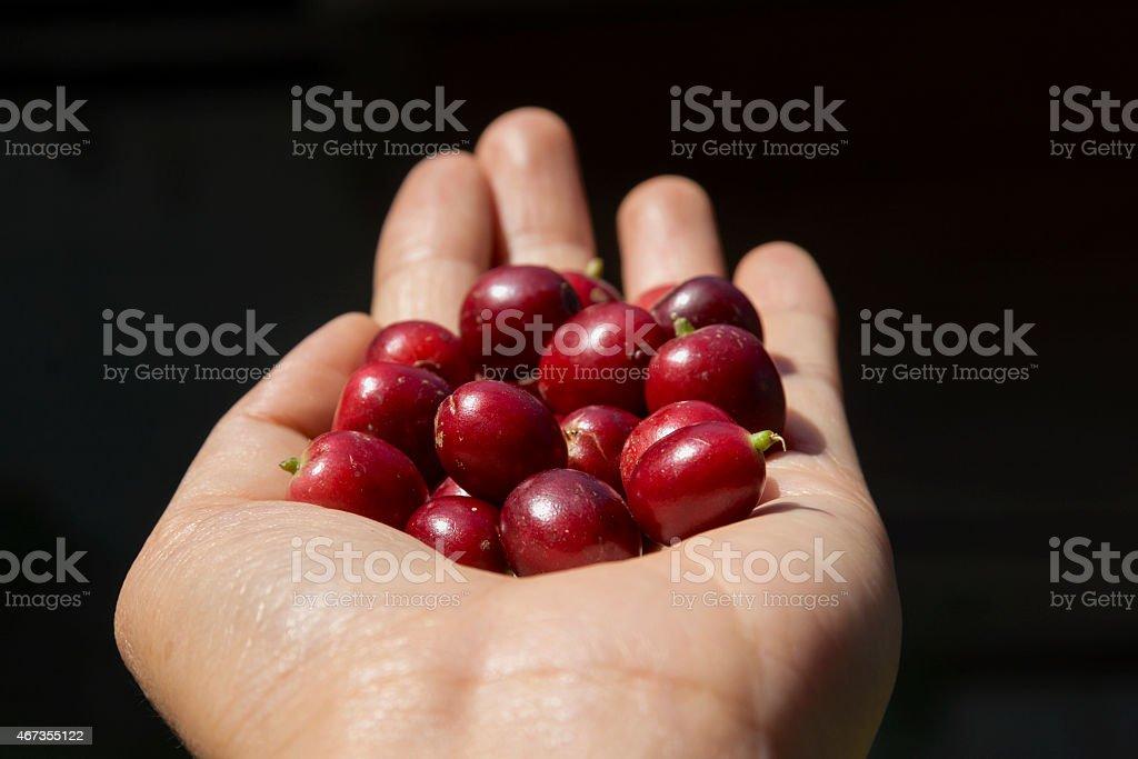 Fresh coffee bean closeup royalty-free stock photo
