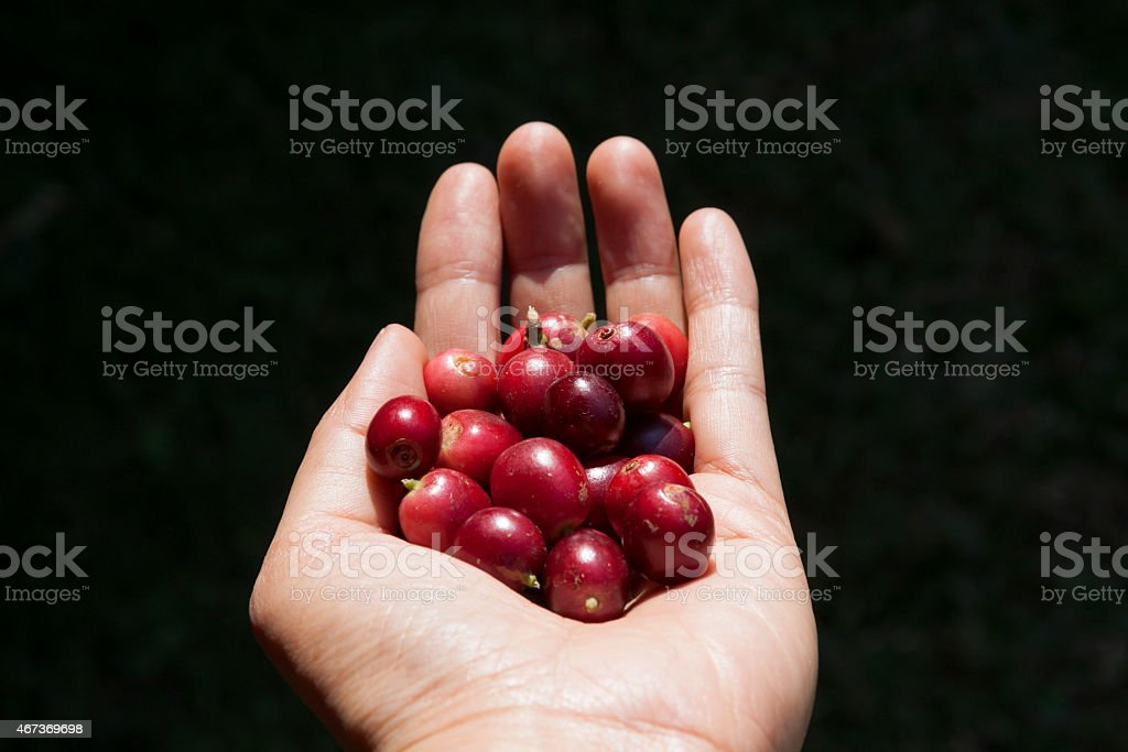 Fresh coffee beans in hand center royalty-free stock photo