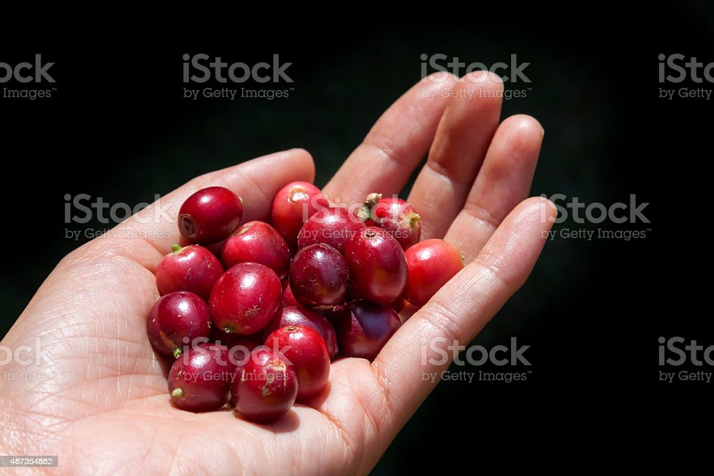 Fresh coffee beans in hand royalty-free stock photo