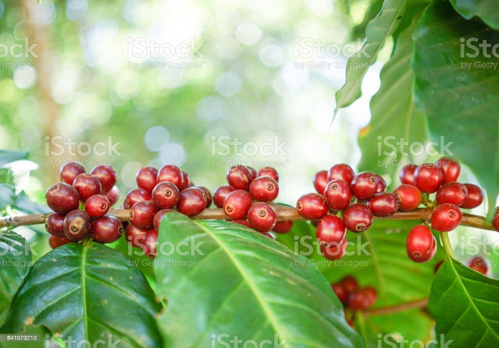 fresh coffee beans on tree stock photo
