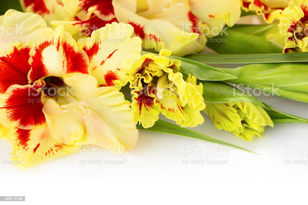 Fresh colorful gladiolus isolated  horizontal stock photo