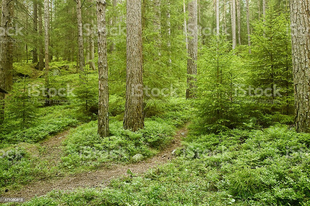 fresh coniferous woodland royalty-free stock photo