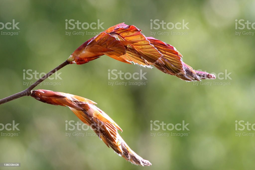 Fresh copper beech royalty-free stock photo
