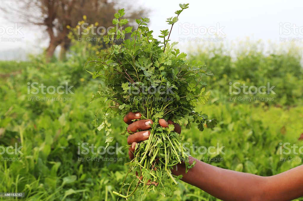 Fresh coriander holding human hand outdoor.