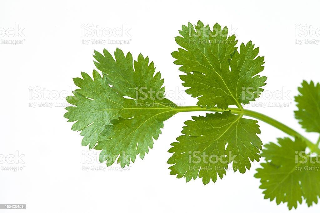 Fresh coriander leaves stock photo