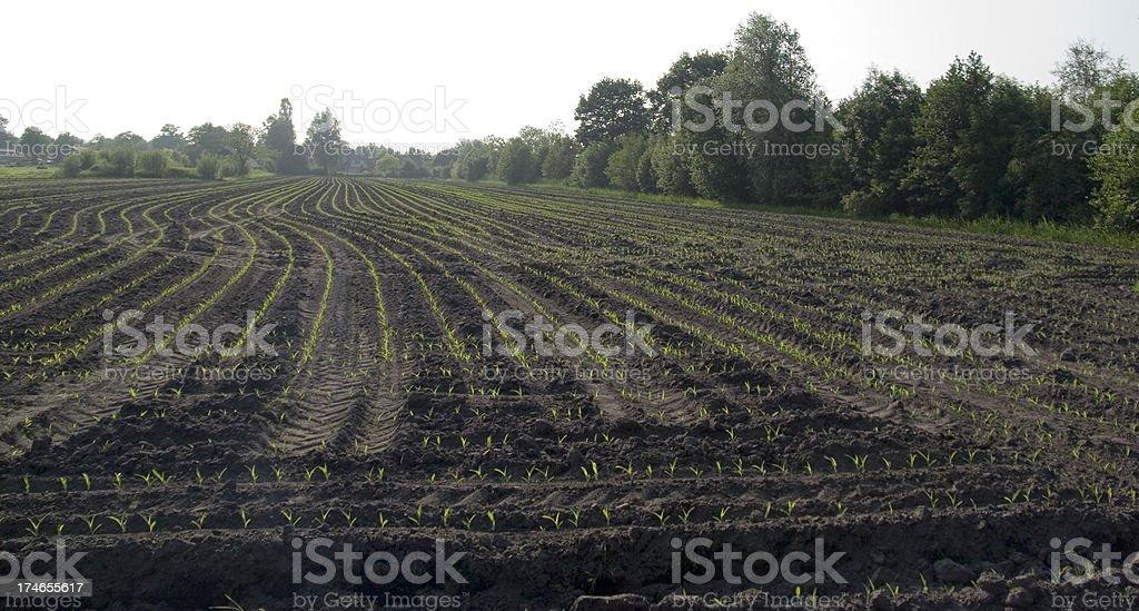 Fresh Corn Field in Summer stock photo
