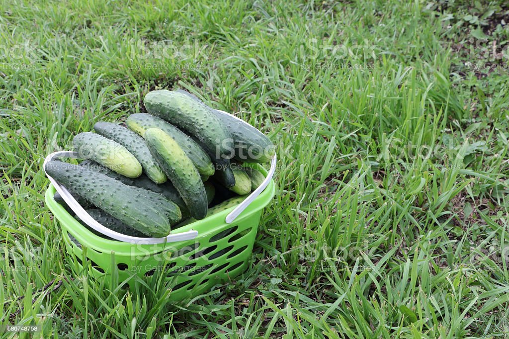 Fresh cucumbers in the basket standing on a lawn stock photo