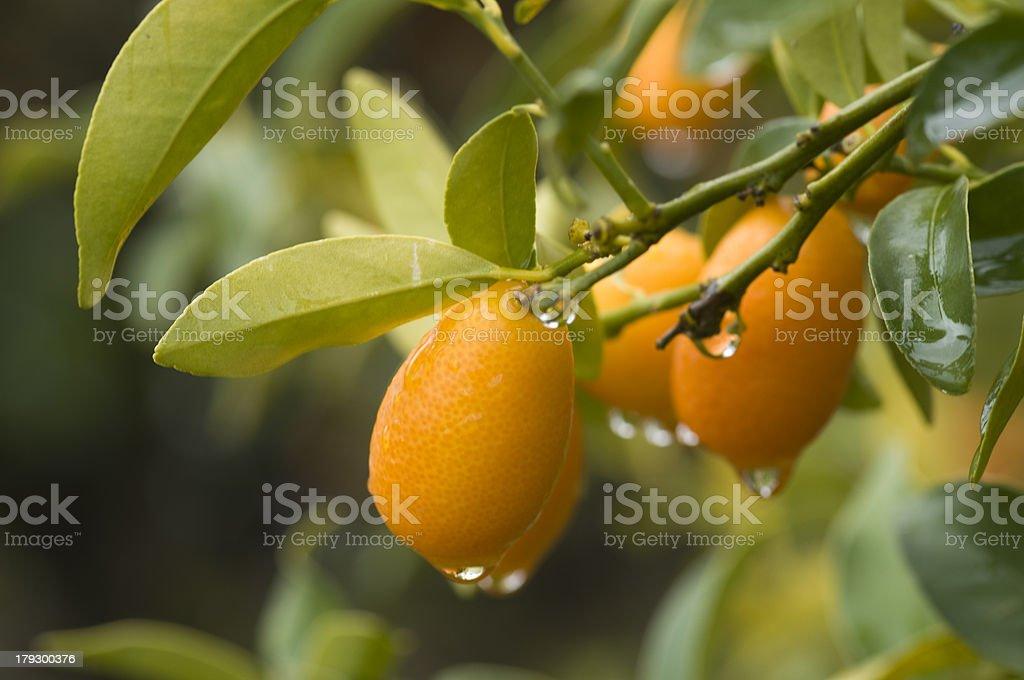 fresh cumquat on a tree royalty-free stock photo