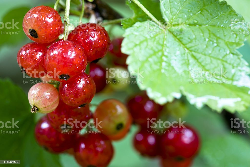 Fresh currant. Color Image stock photo