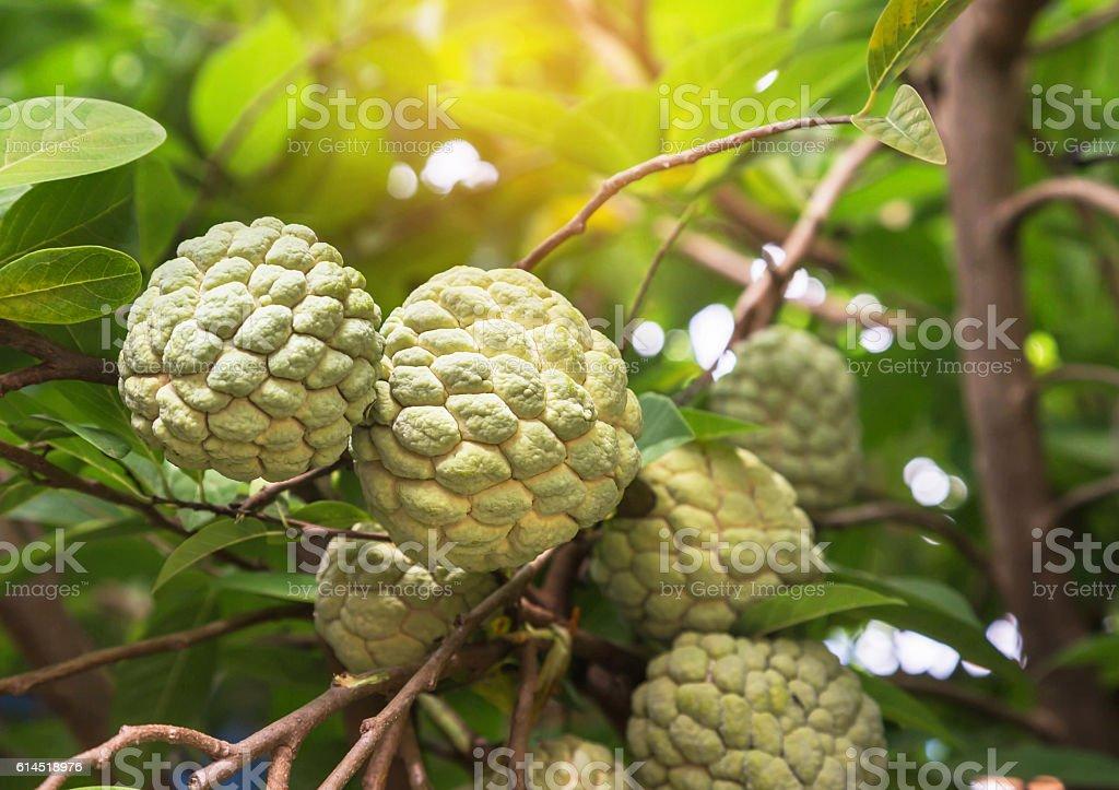 fresh custard apple fruits on tree stock photo