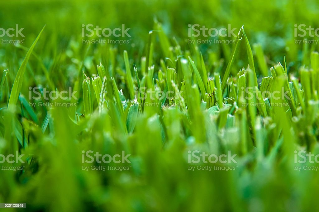 Fresh cut of lawn grass in the early morning with stock photo