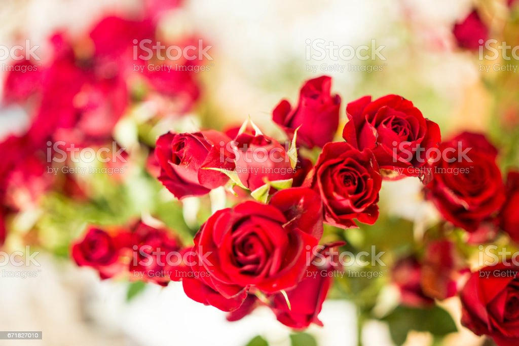 Fresh Cut Red Roses stock photo