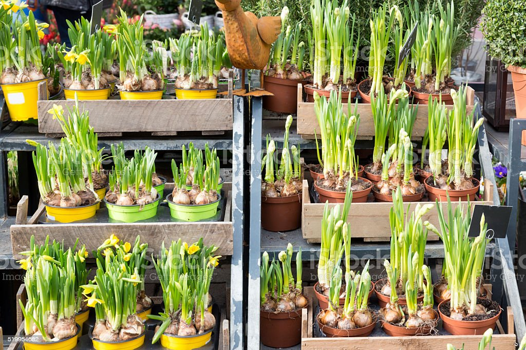 Fresh daffodils in small pots on sale stock photo