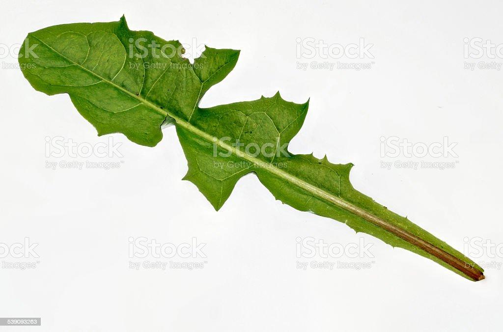 fresh dandelion Cut stock photo