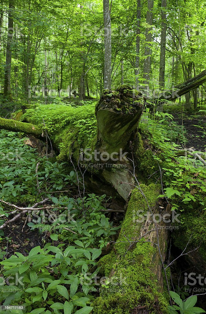 Fresh deciduous stand of Bialowieza Forest in springtime royalty-free stock photo