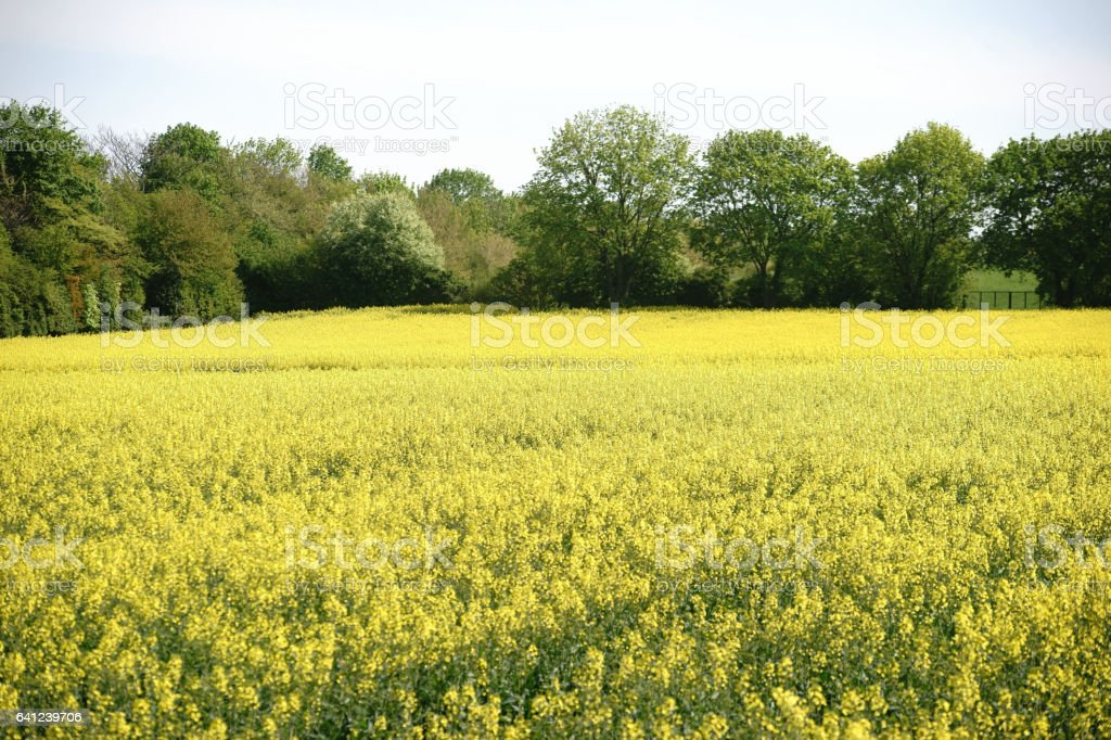 Fresh deciduous trees on rape field stock photo