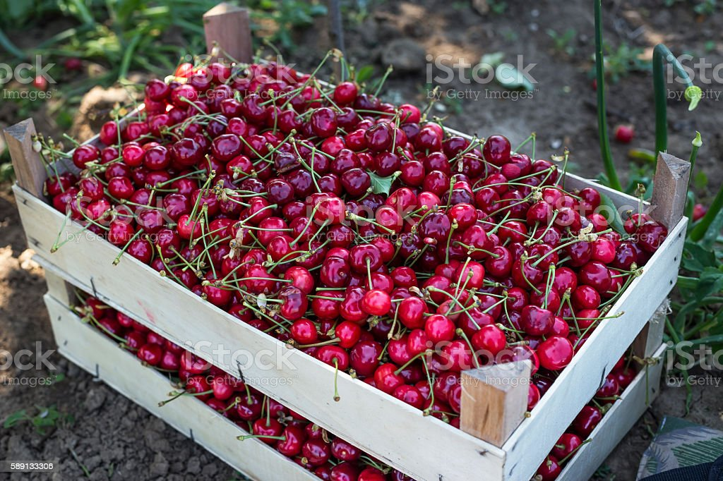 Fresh & Delicious Cherries stock photo